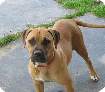 American Bulldog Mix Bull Mastiff Pictures to Pin on ...