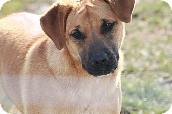 Labrador Retriever/Shepherd (Unknown Type) Mix Dog for adoption in Russellville, Kentucky - Davis