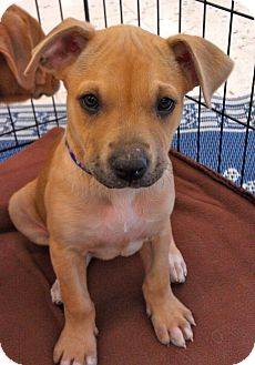 Shepherd (Unknown Type)/Labrador Retriever Mix Puppy for adoption in Phoenix, Arizona - Sophie