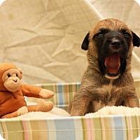 Adopt A Pet :: Kenobi - Greensboro, NC