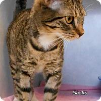 Adopt A Pet :: Socks - Oskaloosa, IA