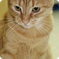 Domestic Shorthair Cat for adoption in Woodbury, New Jersey - Sandy