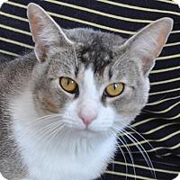 Adopt A Pet :: Amber - Gaithersburg, MD