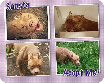 Pit Bull Terrier Mix Dog for adoption in Mission, Kansas - Shasta