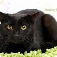 Domestic Shorthair Cat for adoption in Sterling Heights, Michigan - Chloe