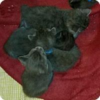 Adopt A Pet :: Daytona - Herndon, VA