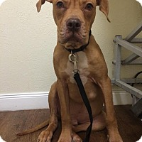 Adopt A Pet :: Whiskey II - Dallas, TX