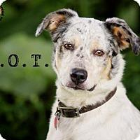 Adopt A Pet :: D.O.T. - Joliet, IL