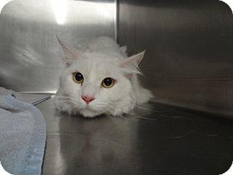 Domestic Mediumhair Cat for adoption in Tucson, Arizona - OLAF