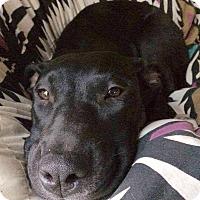 Labrador Retriever Mix Puppy for adoption in Salem, Massachusetts - Eleanor