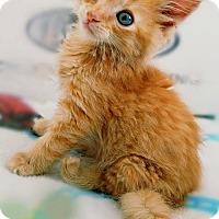 Adopt A Pet :: **Lucas K 'Luke' Duke -- Cats of Hazzard - Pittsburg, CA