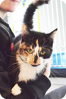 Domestic Shorthair Cat for adoption in Lincoln, Nebraska - Judy
