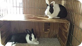Dutch Mix for adoption in Williston, Florida - Danny and Delft