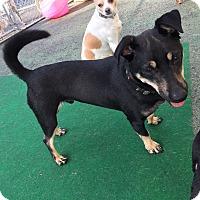 Adopt A Pet :: Bear - Media, PA