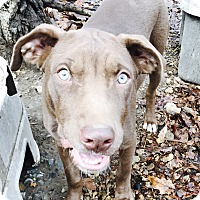 Catahoula Leopard Dog Puppy for adoption in Goodlettsville, Tennessee - Frank