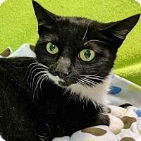 Adopt A Pet :: Professor Scrambles - Gahanna, OH