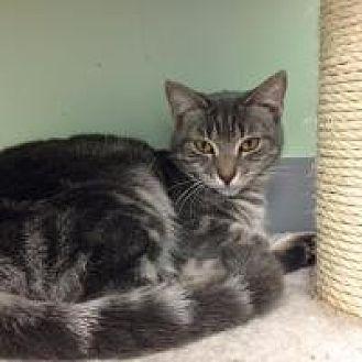 Domestic Mediumhair Cat for adoption in Port Richey, Florida - Felicia