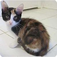 Adopt A Pet :: Koko - The Colony, TX