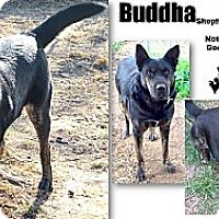 German Shepherd Dog/Rottweiler Mix Dog for adoption in Battle Creek, Michigan - Buddha