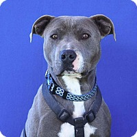 Adopt A Pet :: Blue Boy_ Rock Hudson - Toluca Lake, CA