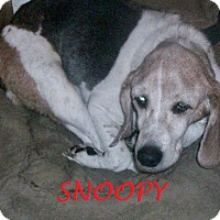 Adopt A Pet :: SNOOPY - Ventnor City, NJ