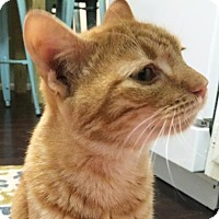 Domestic Shorthair Cat for adoption in Austin, Texas - Oscar