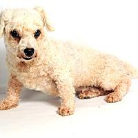 Adopt A Pet :: Honey Bunch Bichon - St. Louis, MO