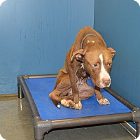 Pit Bull Terrier/Hound (Unknown Type) Mix Dog for adoption in Henderson, North Carolina - Diamond
