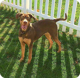 Doberman Pinscher/Labrador Retriever Mix Puppy for adoption in Lafayette, Indiana - Piper
