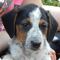 Beagle/English Shepherd Mix Puppy for adoption in Niagara Falls, New York - Zorro (7 lb) New Pics & Video