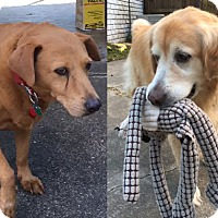 Adopt A Pet :: Hailey and Charlie - New Canaan, CT