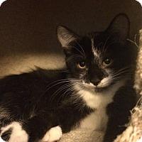 Adopt A Pet :: Amelia - Overland Park, KS