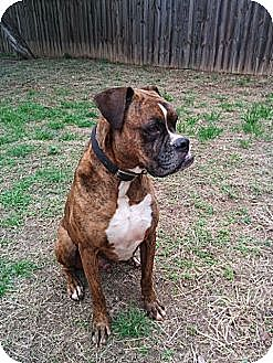 Boxer Dog for adoption in Austin, Texas - Teegue