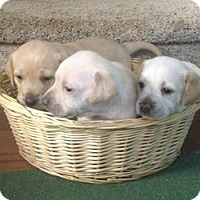 Adopt A Pet :: Dumplin's Babies - Marlton, NJ
