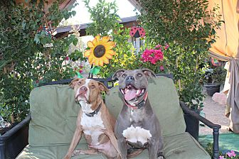 American Staffordshire Terrier Mix Dog for adoption in Toluca Lake, California - Mack
