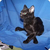Adopt A Pet :: K-Meadows2-Sootie - Colorado Springs, CO