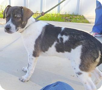 Beagle Mix Dog for adoption in Livingston, Texas - Soldier