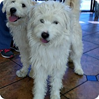 Adopt A Pet :: Doodle and Dandy - Los Angeles, CA