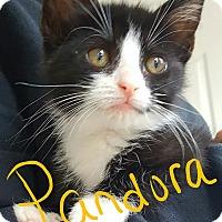 Adopt A Pet :: Pandora - Berkeley Hts, NJ
