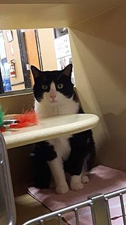 Domestic Shorthair Cat for adoption in Okotoks, Alberta - Big Boy