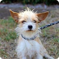 Adopt A Pet :: Fallera - San Diego, CA