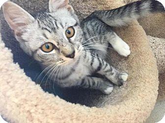 Domestic Shorthair Kitten for adoption in Breinigsville, Pennsylvania - Katie