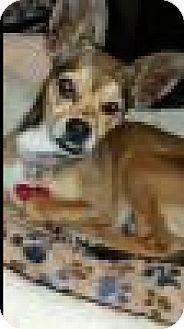 Dachshund Mix Puppy for adoption in Beverly Hills, California - Tulip