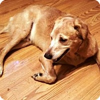 Golden Retriever/Labrador Retriever Mix Dog for adoption in Amherst, Ohio - DUKE - ADOPTION PENDING
