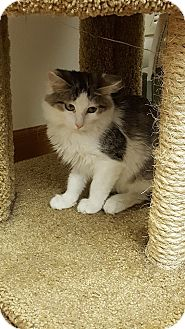 Domestic Mediumhair Cat for adoption in Huntley, Illinois - Pumpkin