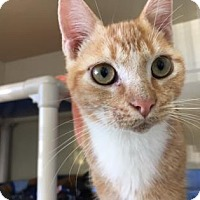 Adopt A Pet :: Angelo - Fort Collins, CO