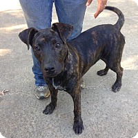 Labrador Retriever/Boxer Mix Dog for adoption in Manchester, New Hampshire - Maggie Mae - pending