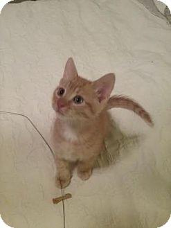 Domestic Shorthair Kitten for adoption in Columbia, South Carolina - Little Joe