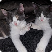 Domestic Shorthair Kitten for adoption in Cherry Hill, New Jersey - Casey