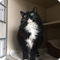Domestic Longhair Cat for adoption in Denver, Colorado - Augustine